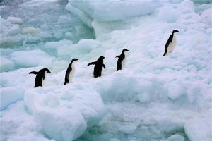Adeli Penguins in the Southern Ocean